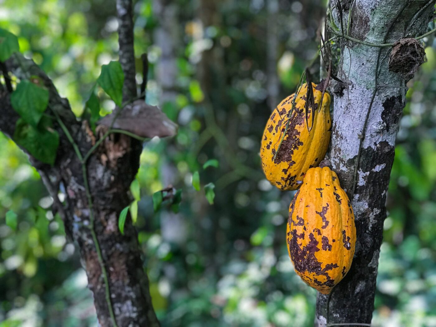A complete guide to cocoa beans and the cocoa tree
