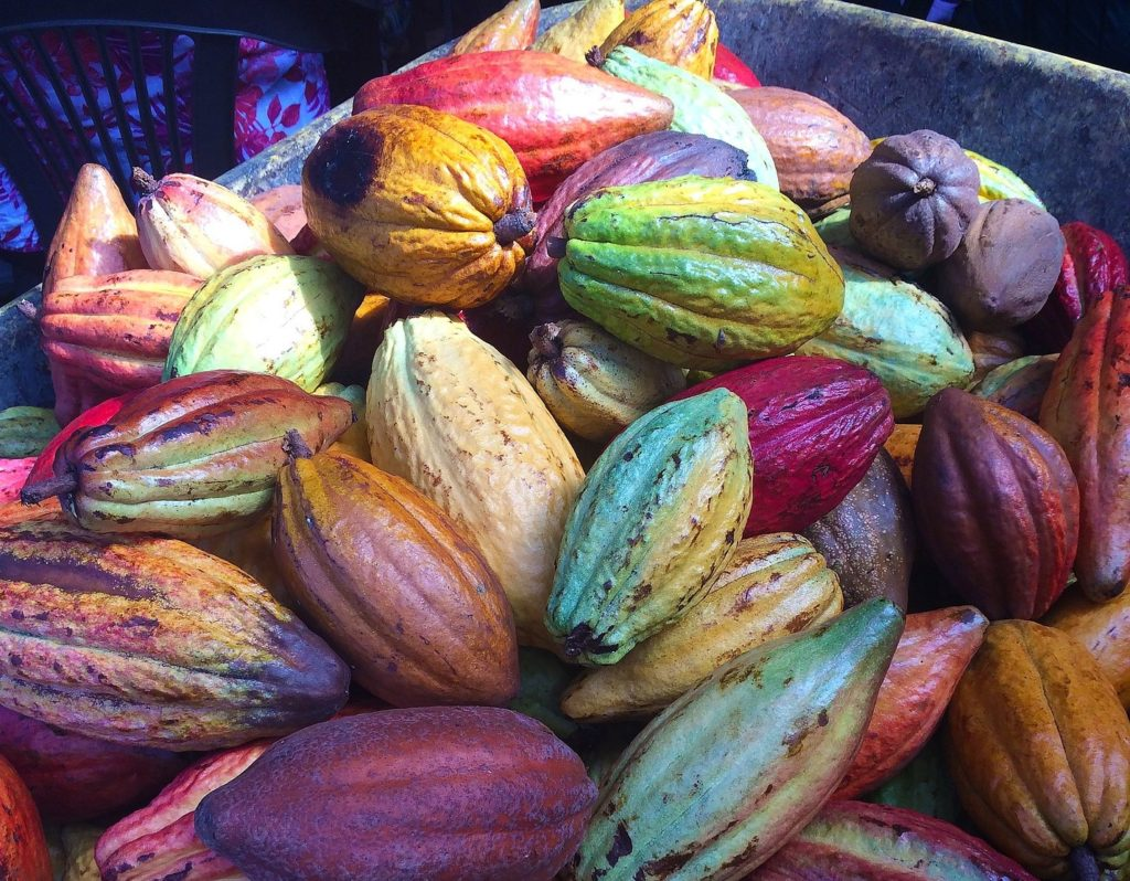 fresh cacao pods
