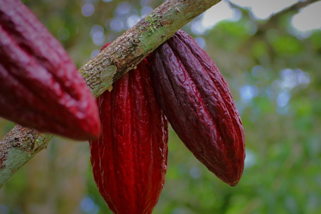 Different type of cocoa bean