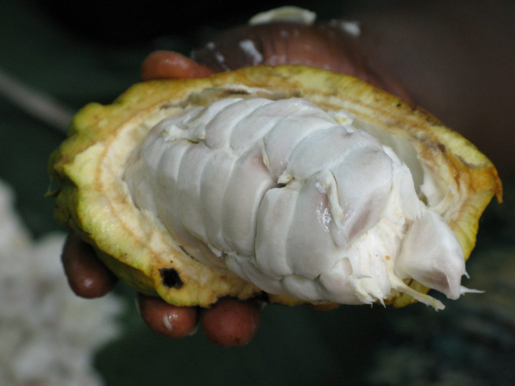 cacao pod with fresh cocoa beans