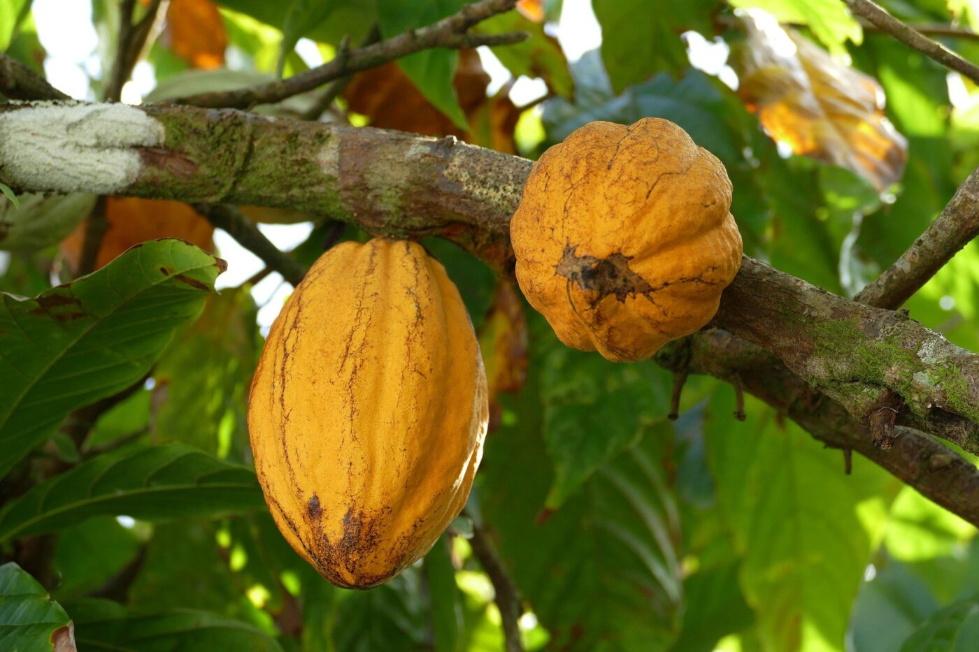 Can you grow cocoa beans at home?