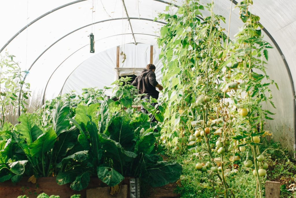 Man in a polytunnel growing cocoa beans