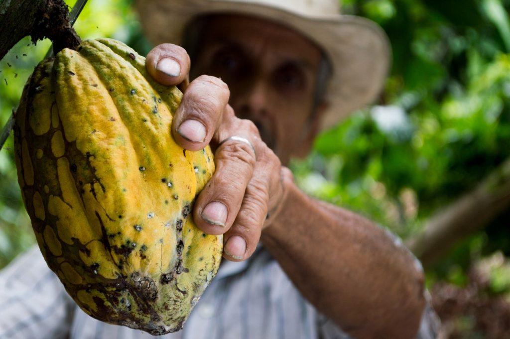 man picking a fresh cacao pod.