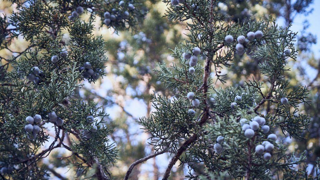 juniper berries are the main botanical in gin