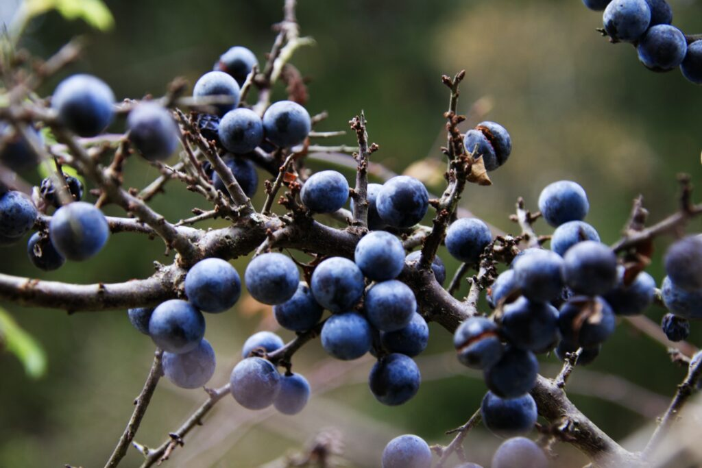 sloe berries to make sloe gin on a branch