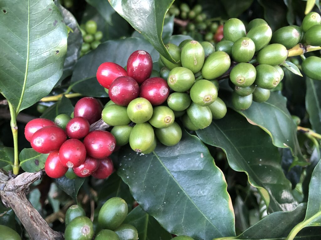 close up of coffee beans on the plant