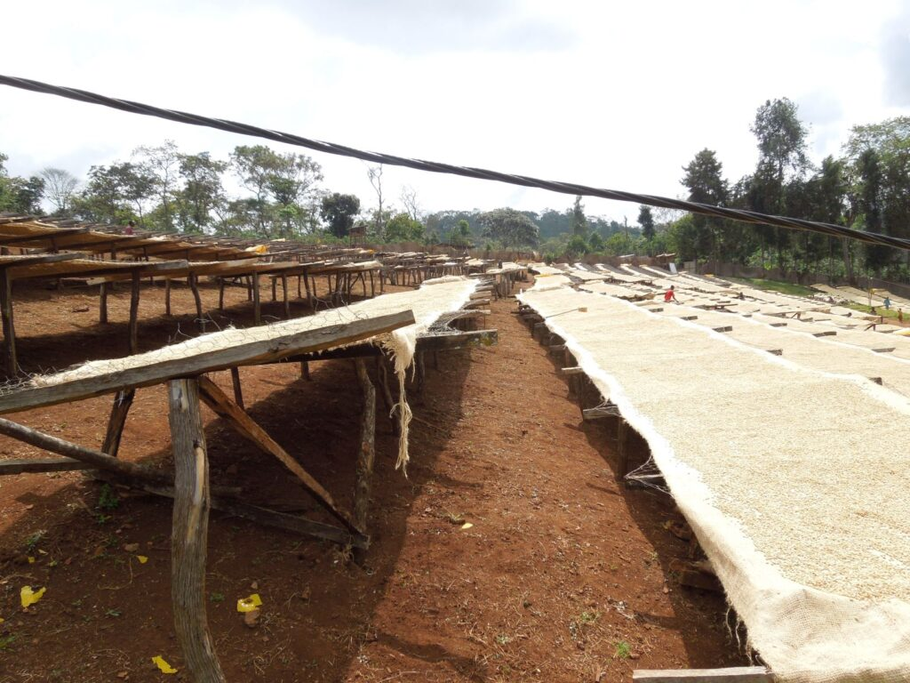 Ethiopian coffee farm with beans drying in the sun