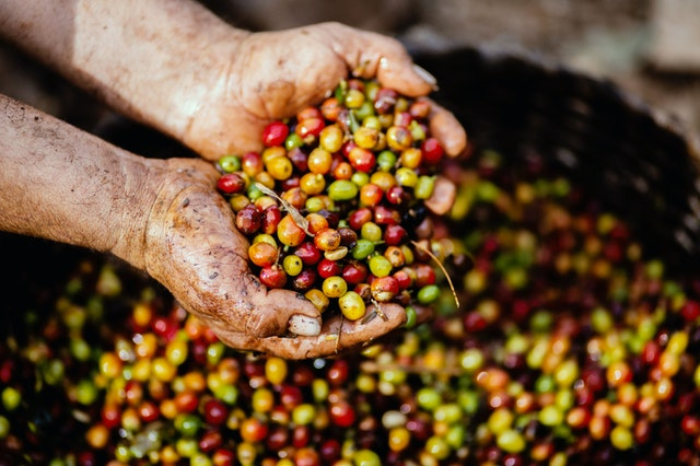 Coffee quiz: did you know coffee starts out as berries?